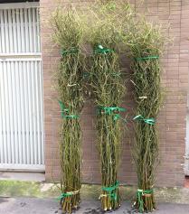 Cành Salix (Curly Willow)