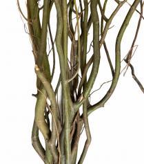 Cành Salix