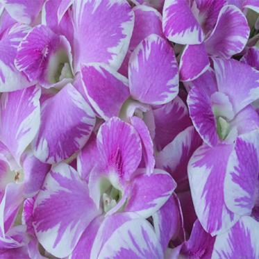 Hoa Lan Thái A-Pink