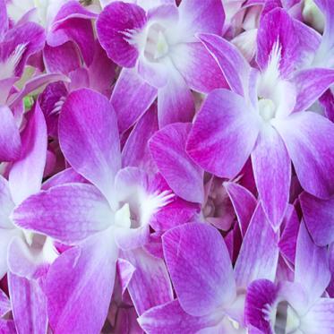 Hoa Lan Thái N-Pink