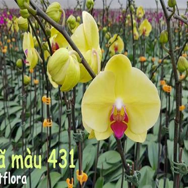 Lan Hồ Điệp Vàng 431